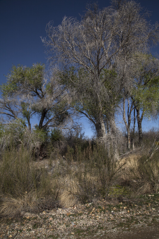 Trees and Shrubs Growing along the Chihuanhuan Desert Trail of Big Bend National Park