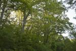 Trees at the Arnold Arboretum