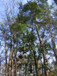 Trees at Torreya