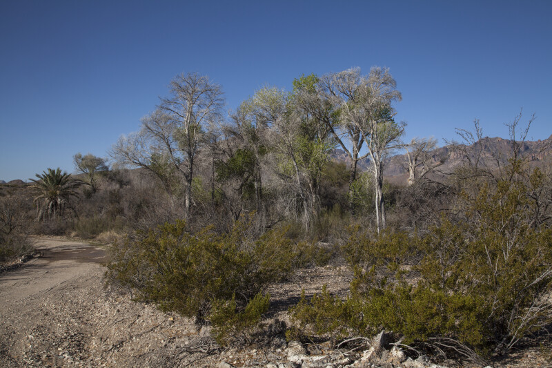 Trees, Shrubs, Mountains, and Dirt Along the Chihuanhuan Desert Trail of Big Bend National Park