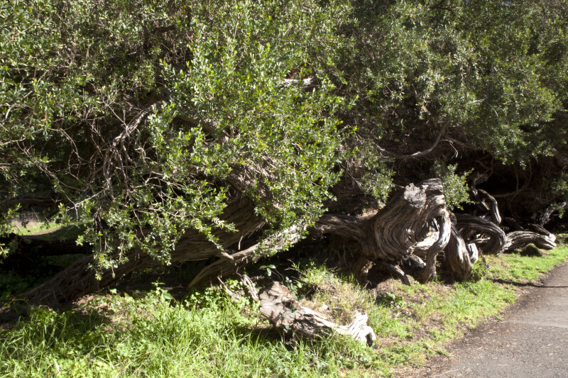 Trees with Gnarled Bark