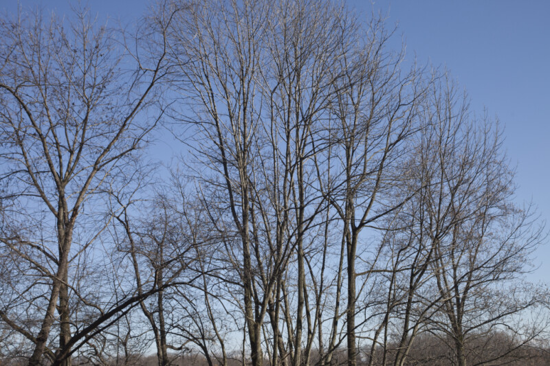 Trees with Hundreds of Bare Branches