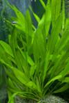 Tricolor Aquatic Plant