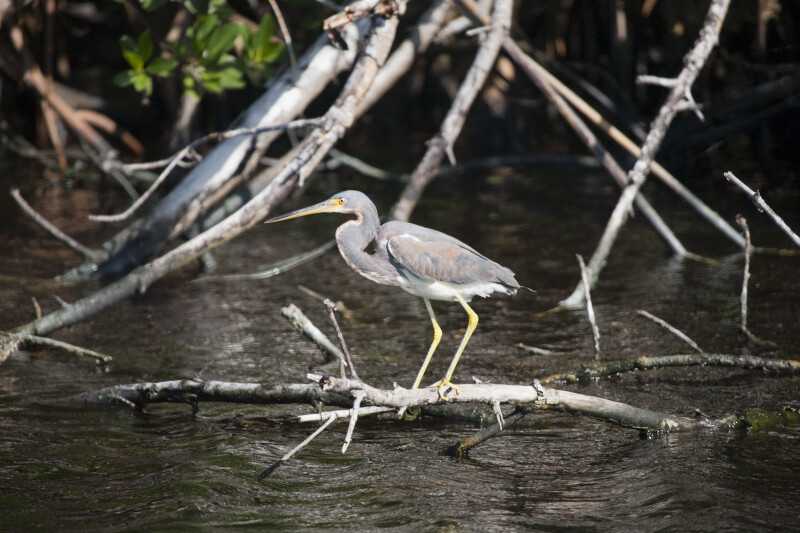 Tricolored Heron at Buttonwood Canal