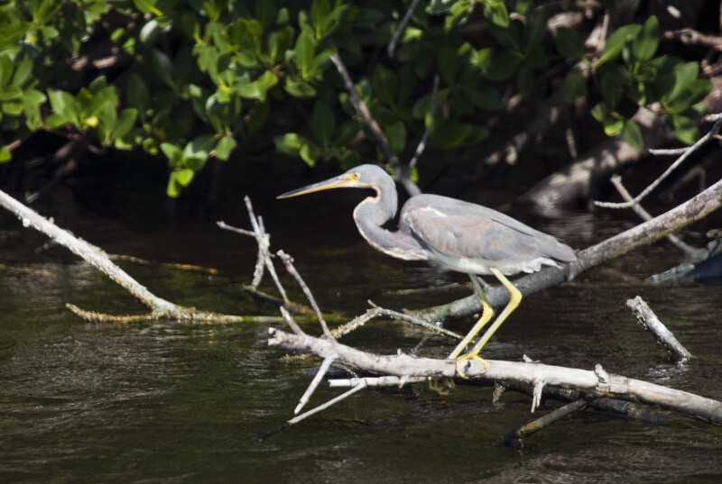 Tricolored Heron Facing Left