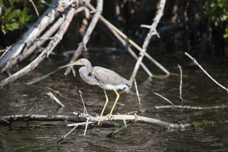Tricolored Heron on Branch