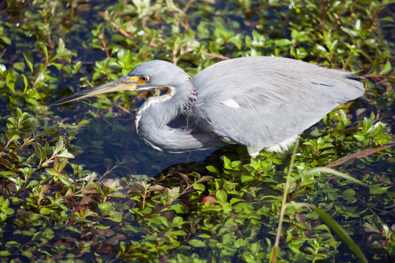 Tricolored (Louisiana) Heron at Anhinga Trail