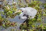 Tricolored (Louisiana) Heron