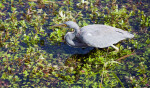 Tricolored or Louisiana Heron at Anhinga Trail