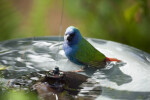 Tricolored Parrot Finch Bathing