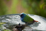 Tricolored Parrot Finch in Bath