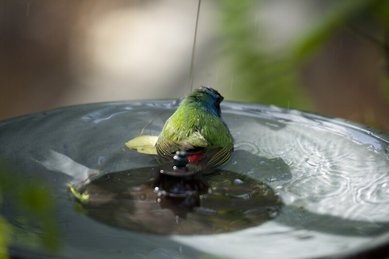 Tricolored Parrot Finch in Bird Bath