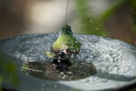 Tricolored Parrot Finch Splashing