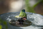 Tricolored Parrot in Fountain