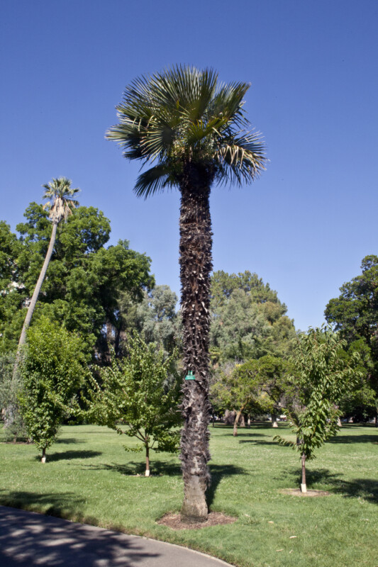 Trithrinax Palm at Capitol Park in Sacramento