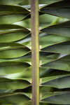 Tropical American Oil Palm Frond