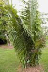 Tropical American Oil Palm