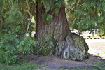 Trunk and Branches of a Sierra Redwood