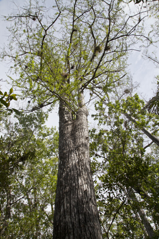 Trunk and Branches of Bald Cypress