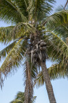 Trunk, Fruit, and Fronds of a Coconut Tree at Biscayne National Park