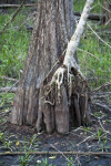 Trunk of a Cypress Tree