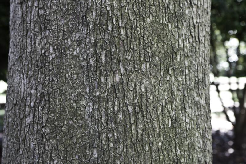 Trunk of a Eucalyptus Tree
