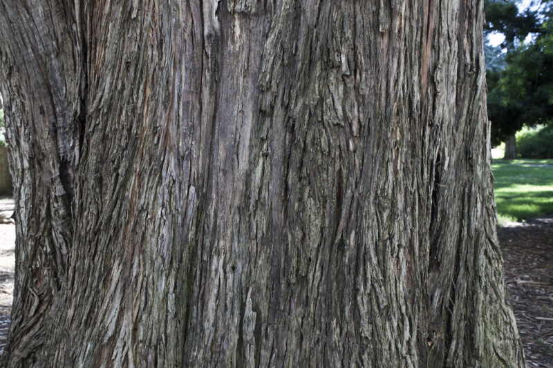 Trunk of a Giant Gum Tree