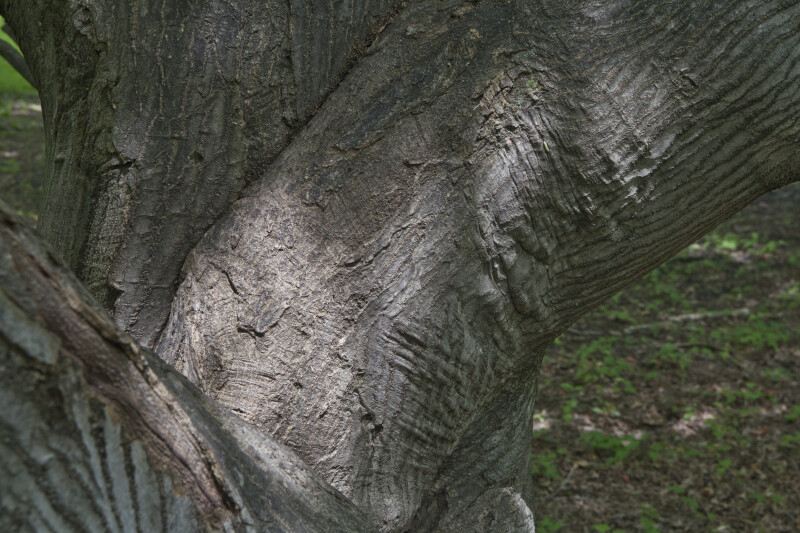 Trunk of a Japanese Maple