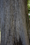 Trunk of a Mourning Cypress Tree at Capitol Park in Sacramento
