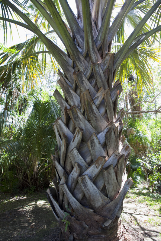 Trunk of a Palm Tree