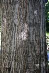 Trunk of a Red Oak Tree