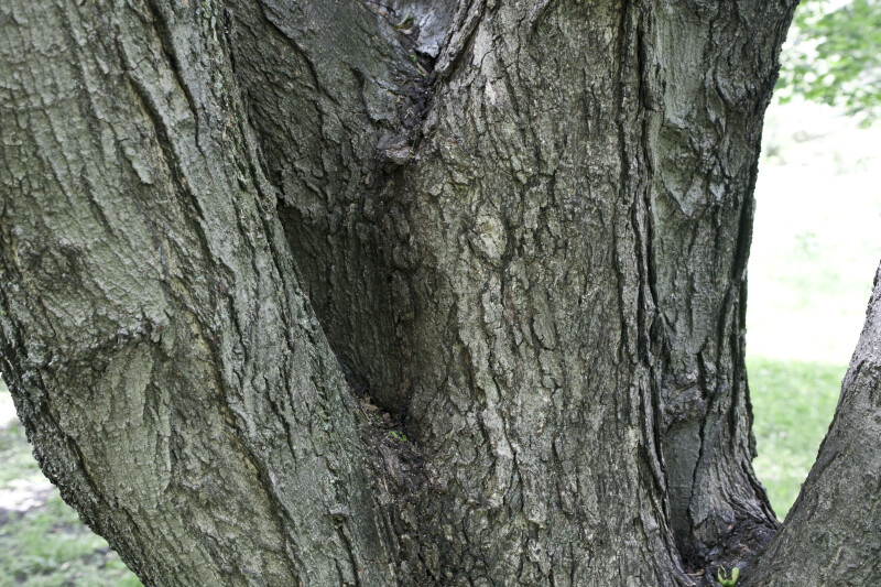 Trunk of a Sugar Maple