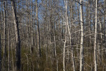 Trunks and Branches of Bare Bald Cypress Trees