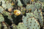 Tulip Prickly Pear Close-Up