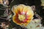 Tulip Prickly Pear Detail
