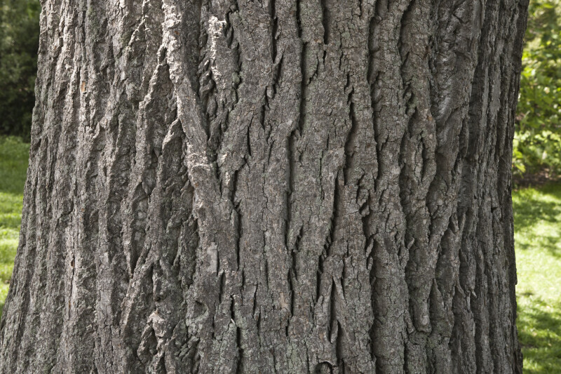 Tulip Tree Bark