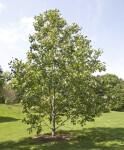 Tulip Tree Hybrid