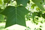 Tulip Tree Leaf