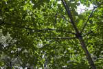 Tung Tree at the Kanapaha Botanical Gardens
