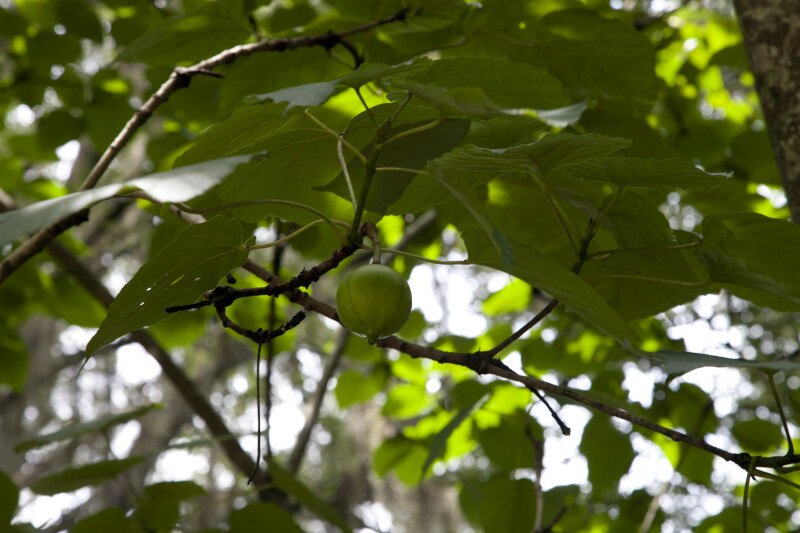 Tung Tree Leaves, Branches, and Fruit