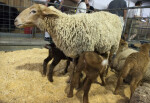 Tunis Sheep Nursing its Young at the Florida State Fairgrounds