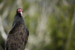 Turkey Vulture and Foliage