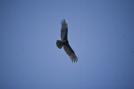 Turkey Vulture Flying