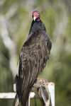 Turkey Vulture Looking Ahead