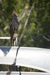 Turkey Vulture on Canoe Rack