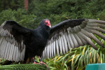 Turkey Vulture Wingspan