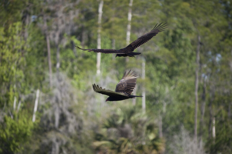 Turkey Vultures Flying
