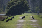 Turkey Vultures on Ground