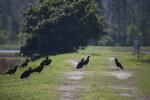 Turkey Vultures on Ground