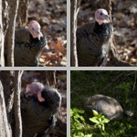 Turkeys photographs